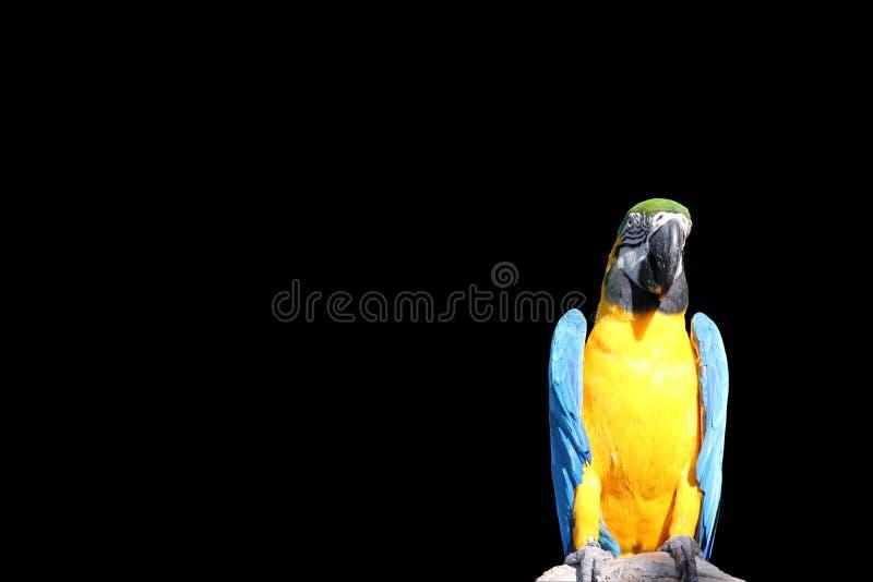 Ara ptak umieszczał na suchym szalunku odizolowywającym na czarnym tle Ścinek ścieżka fotografia royalty free