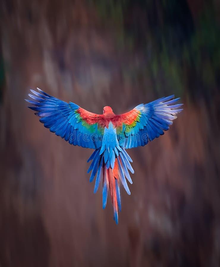 Ara rossa e verde con la diffusione delle ali immagini stock