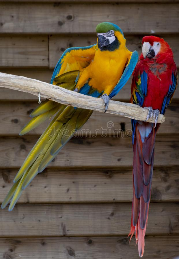 Ara scharlaken en blauw-en-gele papegaaien, kleurrijke exotische vogels met lange staart stock afbeelding