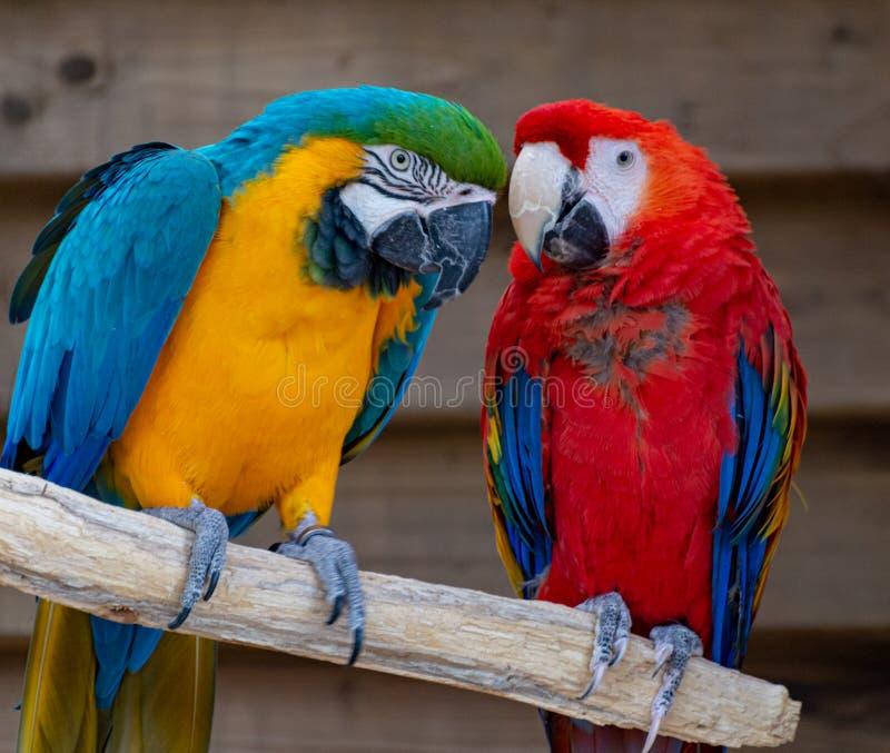 Ara scharlaken en blauw-en-gele papegaaien, kleurrijke exotische vogels met lange staart stock afbeeldingen