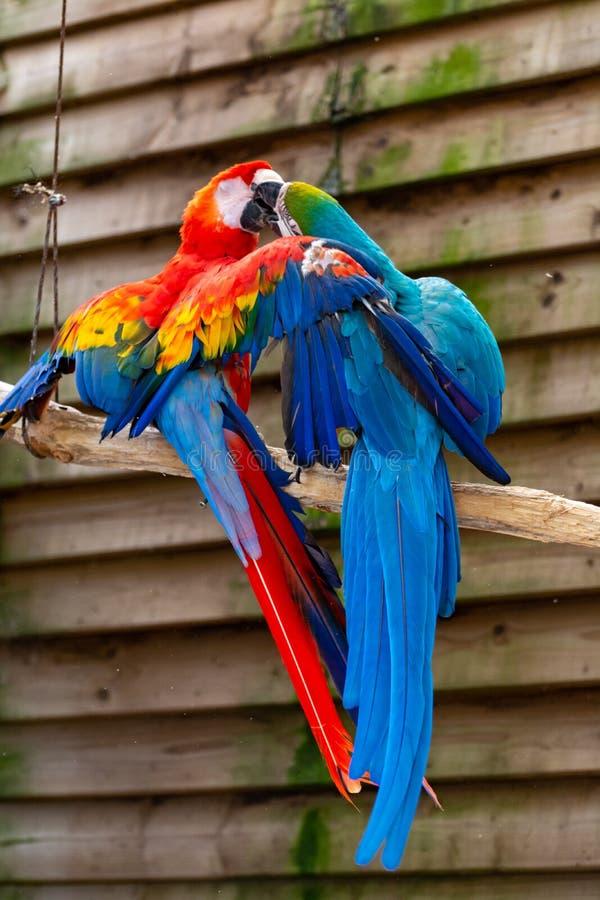 Ara scharlaken en blauw-en-gele papegaaien, kleurrijke exotische vogels met lange staart royalty-vrije stock fotografie