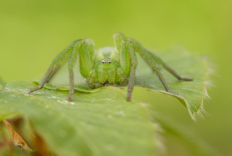 Ara?a verde del huntsman, virescens de Micrommata camuflados en la hoja, en Rep?blica Checa imágenes de archivo libres de regalías