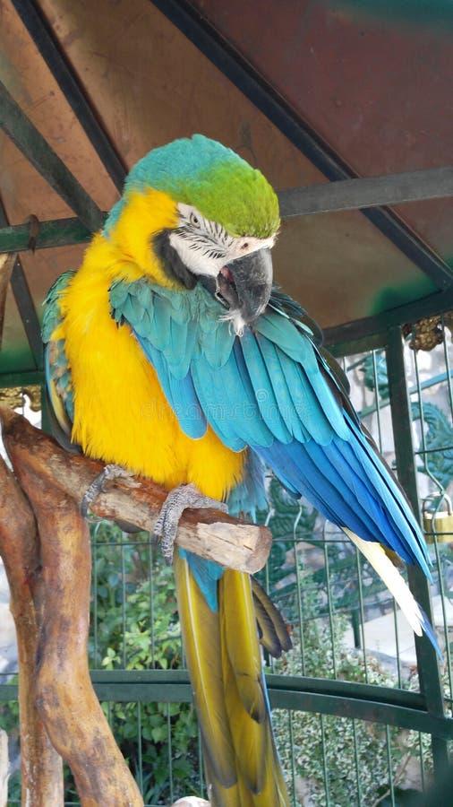 Ara-Vogel singen lizenzfreie stockbilder