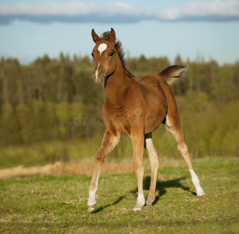 Arab foal running free in summer field stock photo