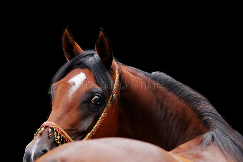 Arab horse bend stock photo