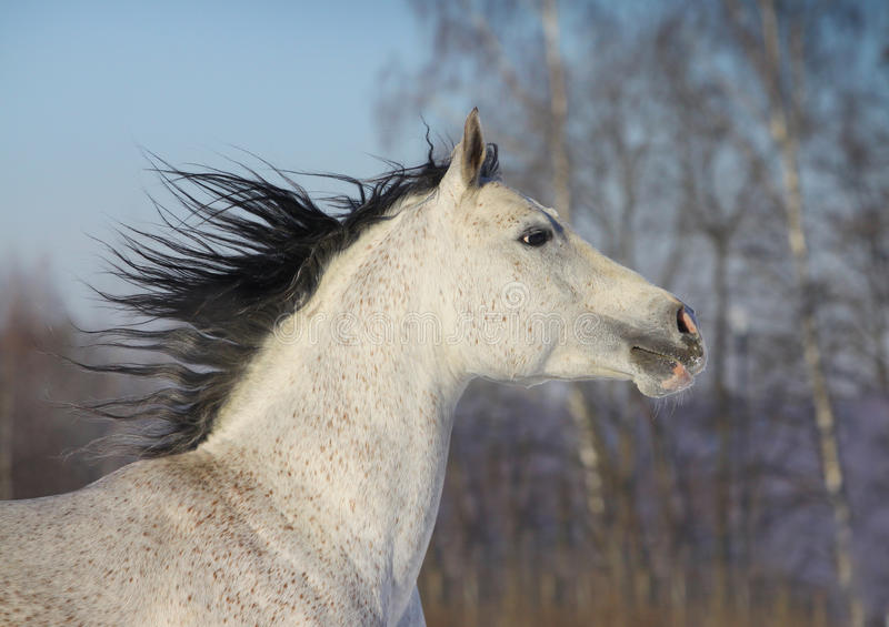 Download Arab horse closeup stock image. Image of rays, nature - 22091093