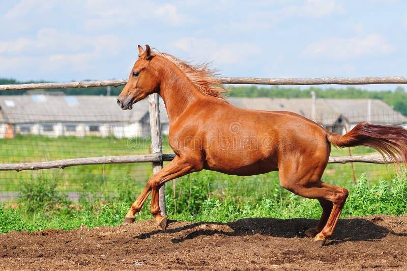 Arab Horse Galloping In A Paddock Stock Photos