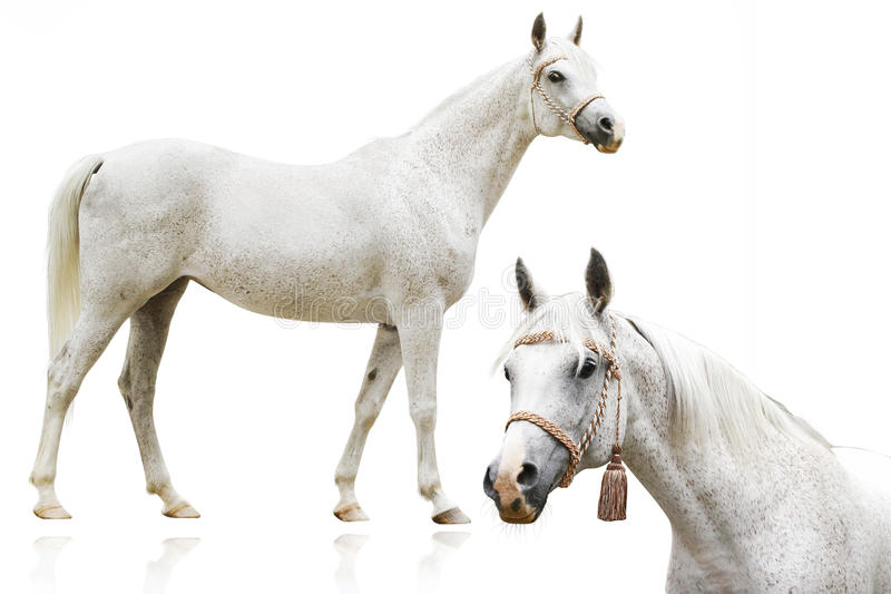 Download Arab Horse Isolated Royalty Free Stock Photos - Image: 12039758