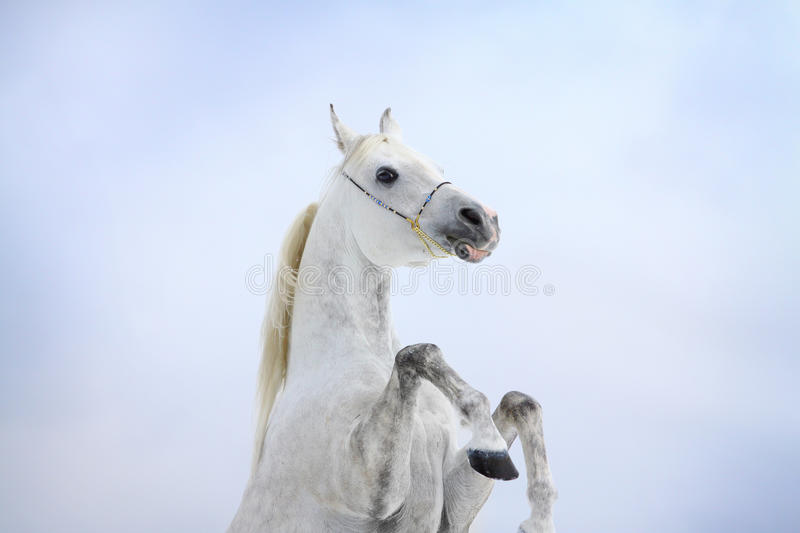Download Arab horse rears stock image. Image of fastest, cloudy - 22091061