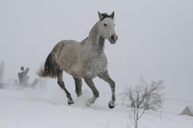 Arab horse on a snow slope hill in winter. The stallion is a cross between the Trakehner and Arabian breeds. In the background are trees and a snag royalty free stock image