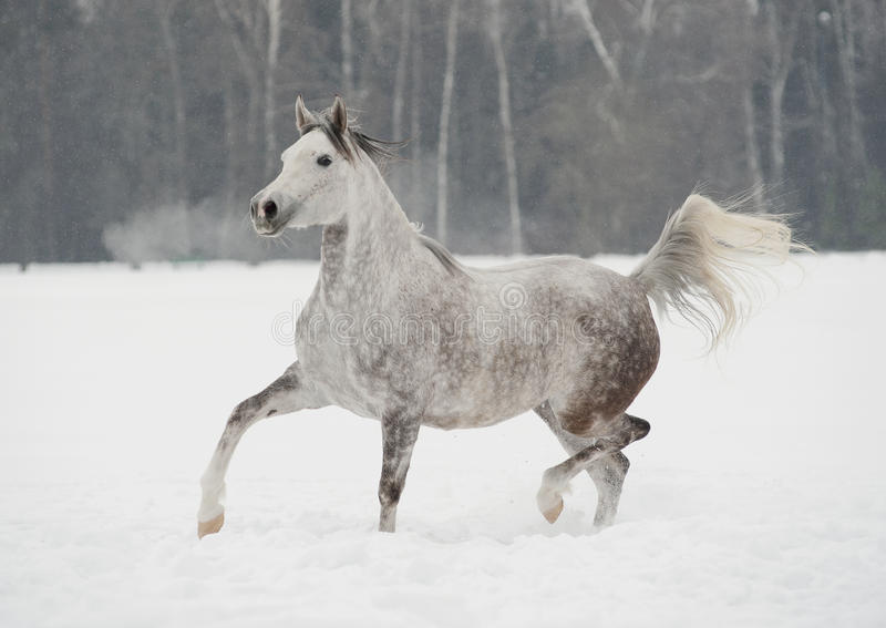 Download Arab horse in winter stock image. Image of mammal, silver - 23676465
