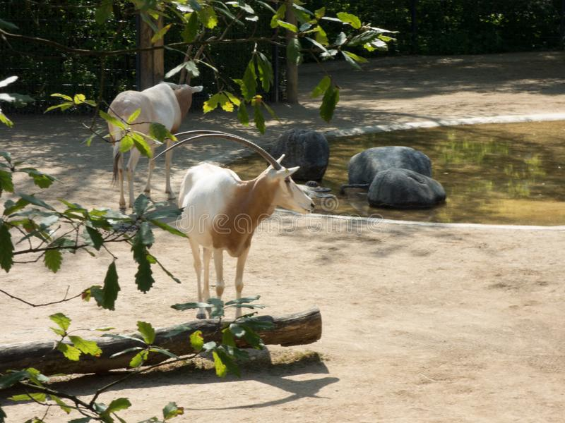 Arab oryx with zebras in the zoo. Dry vegetation around with a lake stock photos