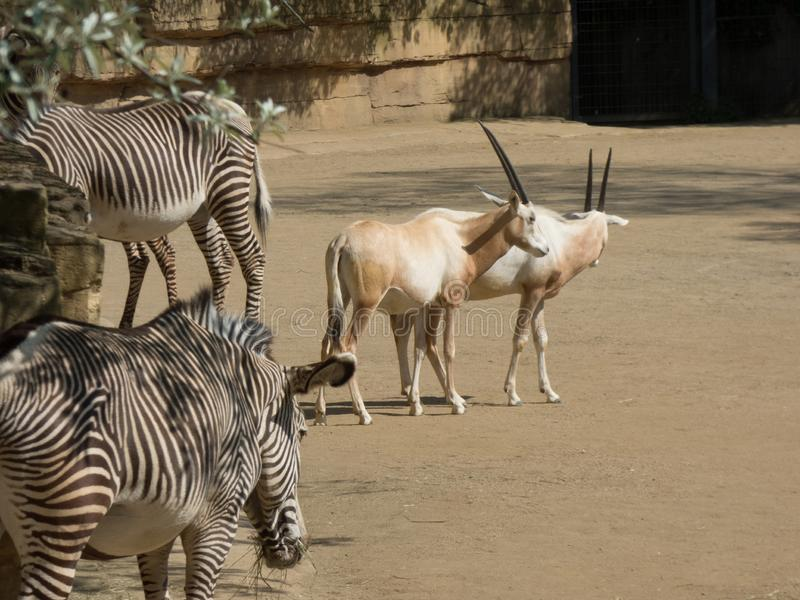 Arab oryx with zebras in the zoo. Dry vegetation around with a lake stock image