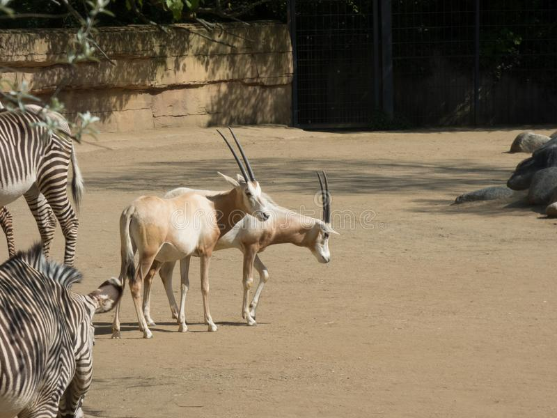 Arab oryx with zebras in the zoo. Dry vegetation around it stock image