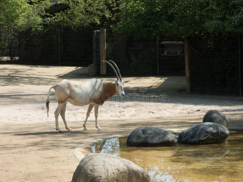 Arab oryx with zebras in the zoo. Dry vegetation around with a lake royalty free stock images