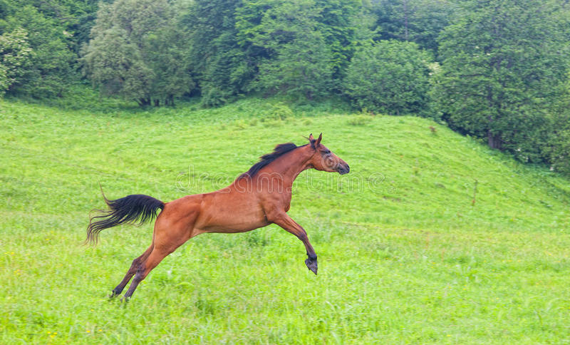 Download Arab racer stock image. Image of grace, black, jump, domestic - 32146265