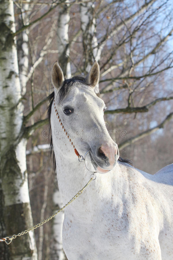 Download Arab stallion stock image. Image of healthy, neck, grace - 12936733