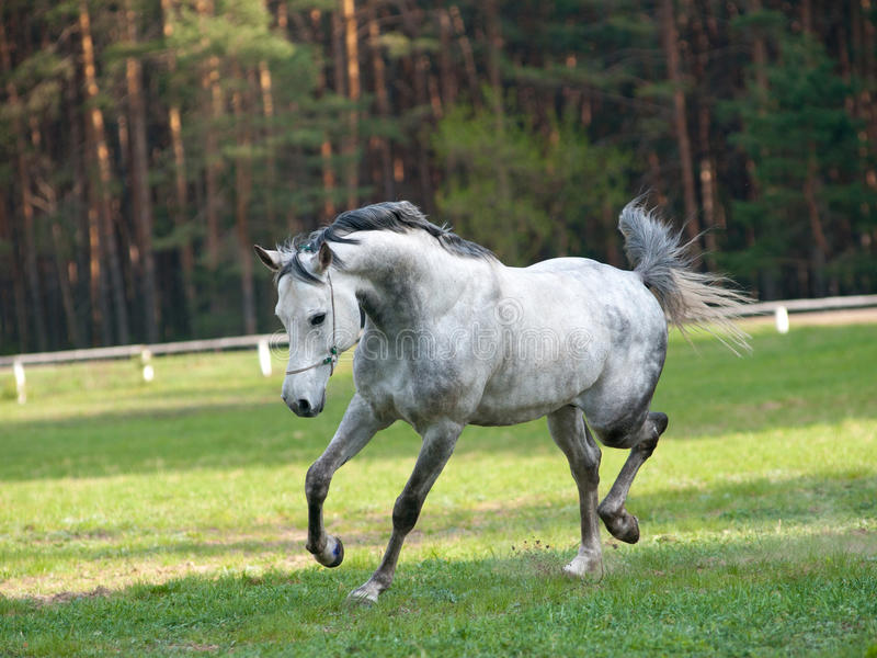 Arab stallion. Dapple gray arab stallion trotting stock photography
