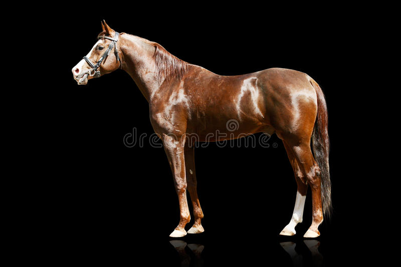 Download Arab stallion isolated stock photo. Image of equestrian - 11737326