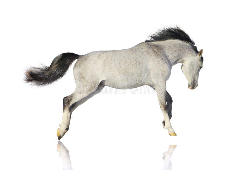 Arab Stallion Isolated Stock Image