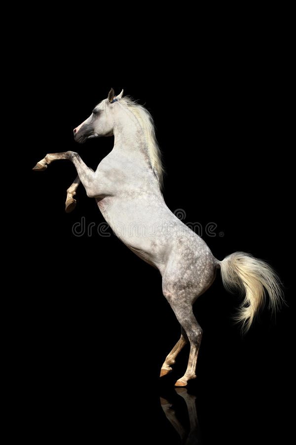 Arab stallion isolated stock photography