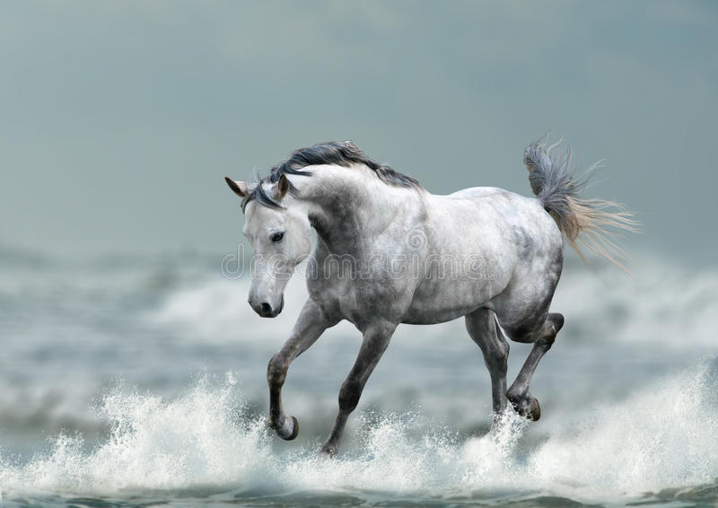Arab stallion. Running the ocean waves stock image
