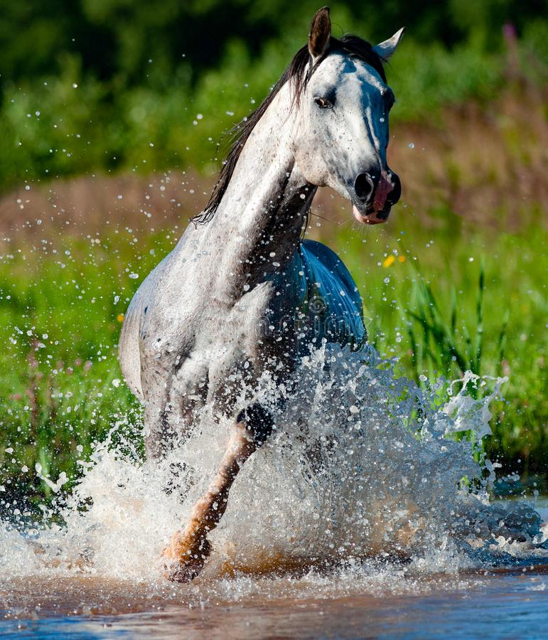 Arab stallion running in pond. Arab stallion running in water front view royalty free stock photo