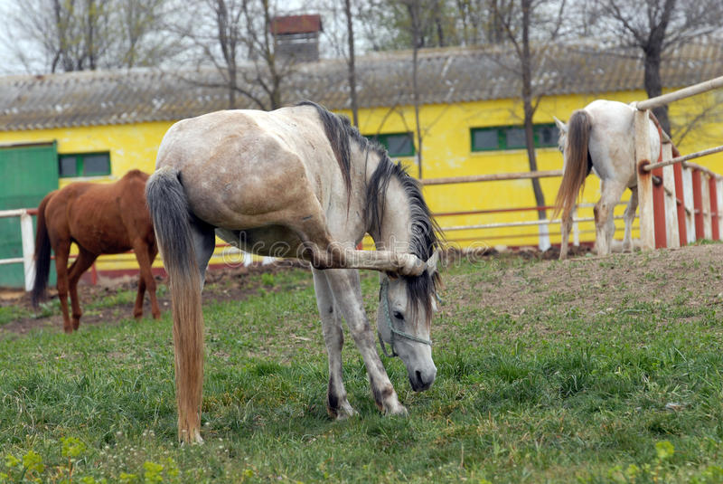 Arab thoroughbred horse. Stud in mangalia royalty free stock images