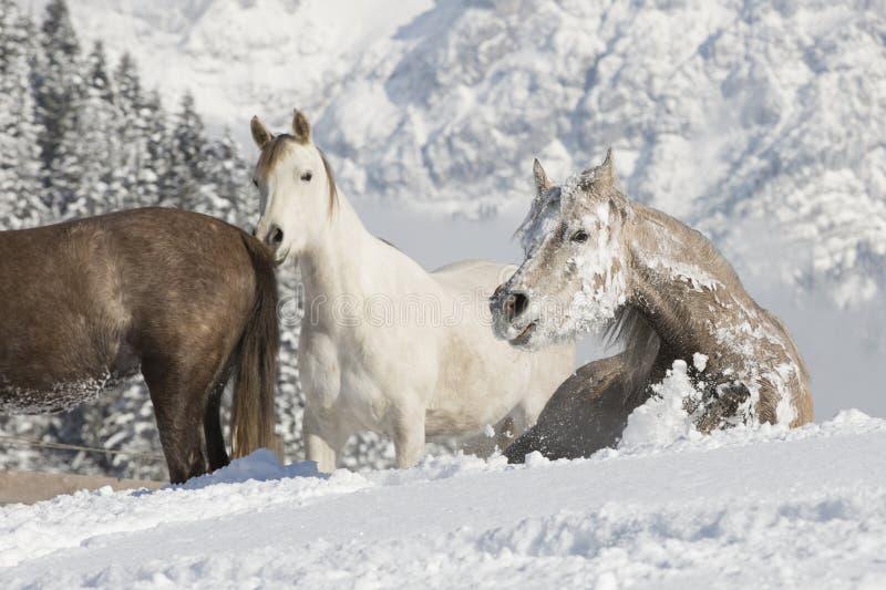Araber im Schnee fotografia stock libera da diritti