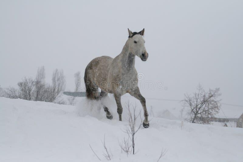 Araberpferd auf einem Schneesteigungshügel im Winter Das Pferd läuft an einem Trab im Winter auf einer schneebedeckten Steigung stockbild