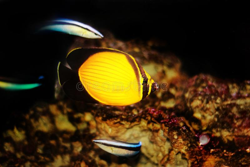 The Arabian Butterfly fish - Chaetodon melapterus. Chaetodon melapterus, the Arabian butterflyfish, blackfin butterflyfish, or black-finned melon butterflyfish royalty free stock photography