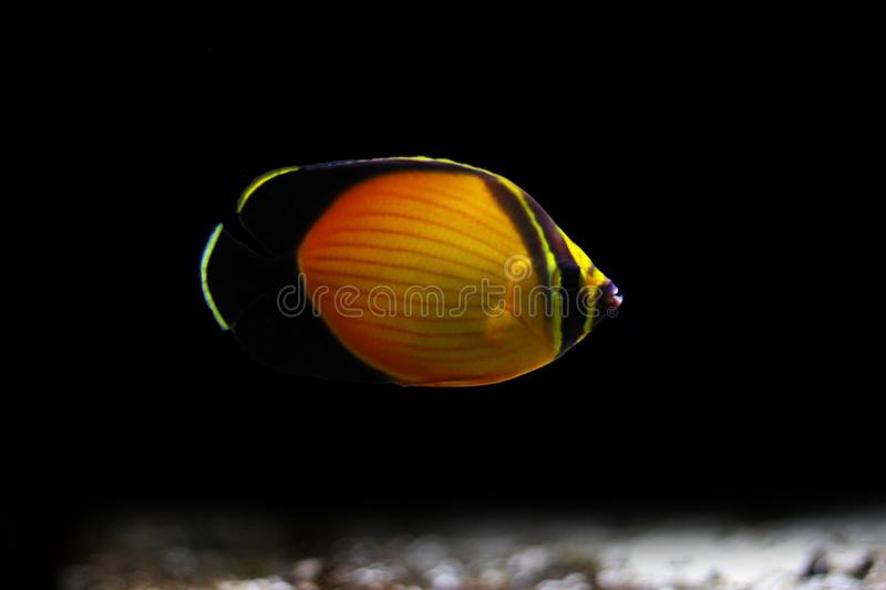The Arabian Butterfly fish - Chaetodon melapterus. Chaetodon melapterus, the Arabian butterflyfish, blackfin butterflyfish, or black-finned melon butterflyfish stock photo