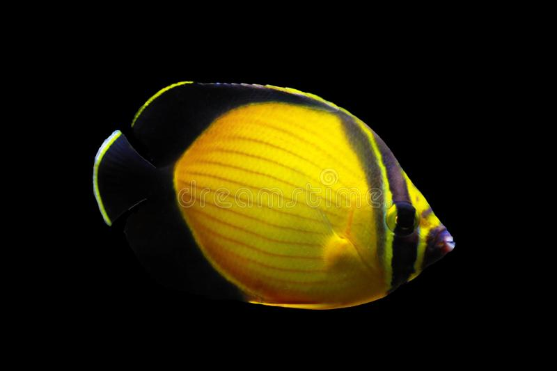 The Arabian Butterfly fish - Chaetodon melapterus. Chaetodon melapterus, the Arabian butterflyfish, blackfin butterflyfish, or black-finned melon butterflyfish stock photography
