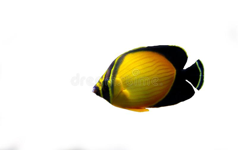 The Arabian Butterfly fish - Chaetodon melapterus. Chaetodon melapterus, the Arabian butterflyfish, blackfin butterflyfish, or black-finned melon butterflyfish royalty free stock photos