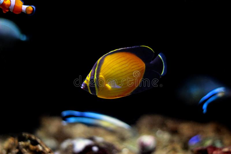 The Arabian Butterfly fish - Chaetodon melapterus. Chaetodon melapterus, the Arabian butterflyfish, blackfin butterflyfish, or black-finned melon butterflyfish stock images