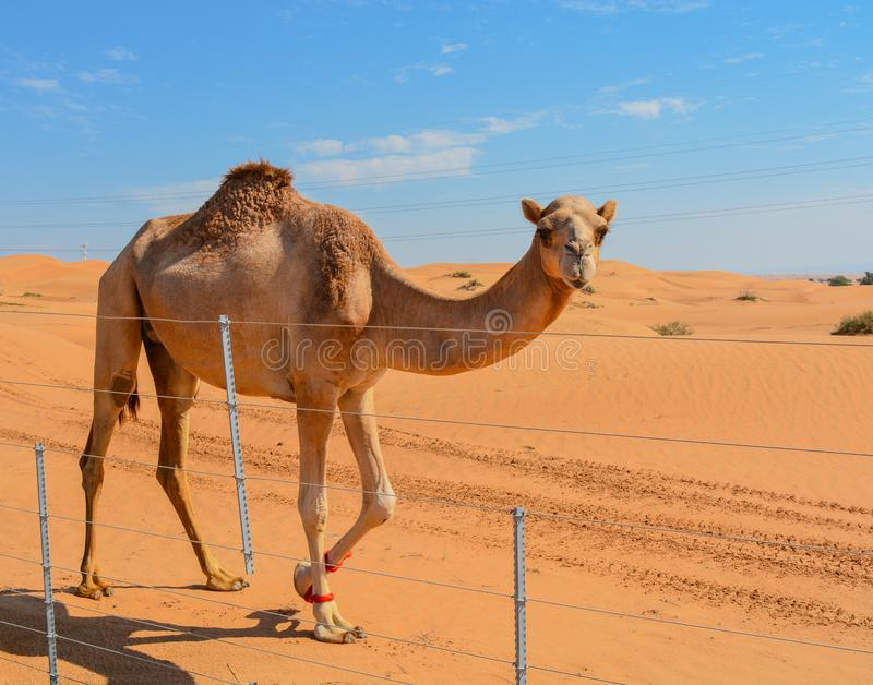 Arabian Camel Camelus Drimedarius in the desert of the United Arab Emirates of Western Asia. stock images