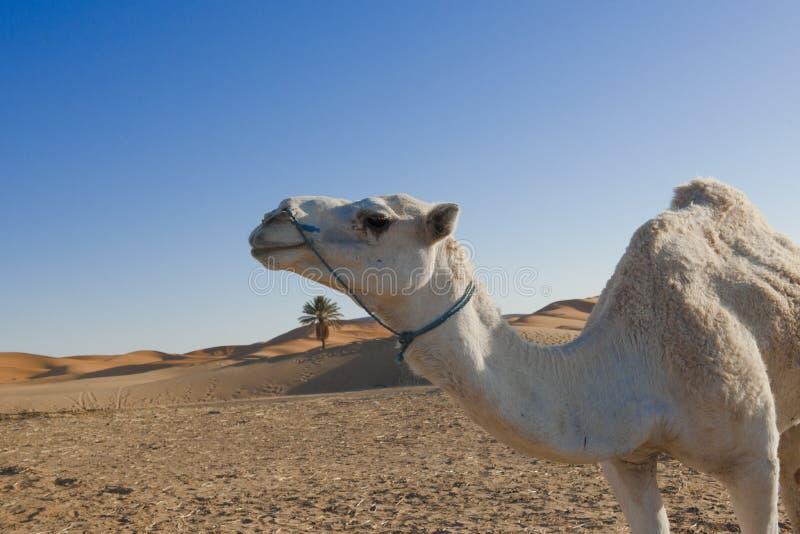 Camel In Desert Stock Photos