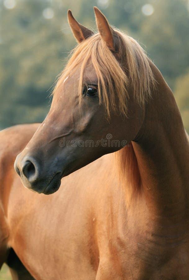 Arabian Colt royalty free stock image