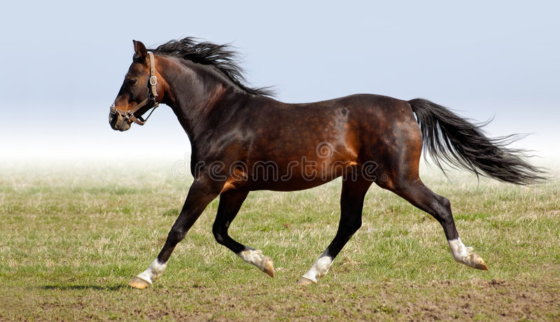 Download Arabian Dapple-chestnut Stallion Stock Photo - Image: 3703600