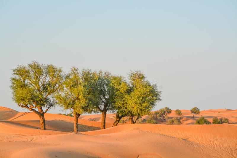 Arabian desert tree Prosopis Cineraria on the red sand dunes of Dubai, United Arab Emirates royalty free stock photography