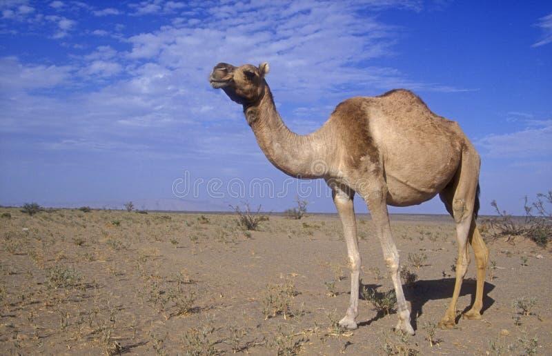 Arabian or Dromedary camel, Camelus dromedarius stock photo