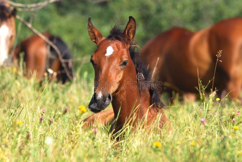 Download Arabian foal stock image. Image of animal, mane, foal - 10664585