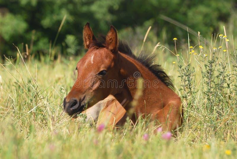 Download Arabian foal stock photo. Image of care, mane, foal, field - 10664638