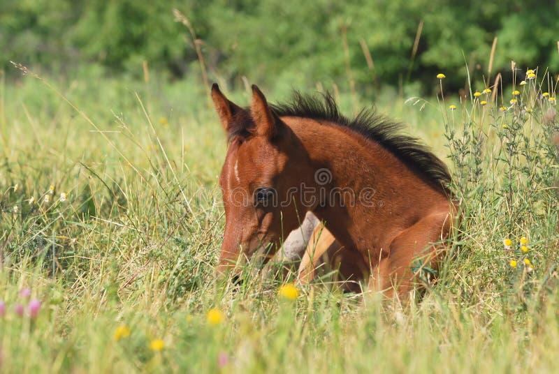 Download Arabian foal stock image. Image of foal, equine, mother - 10665817