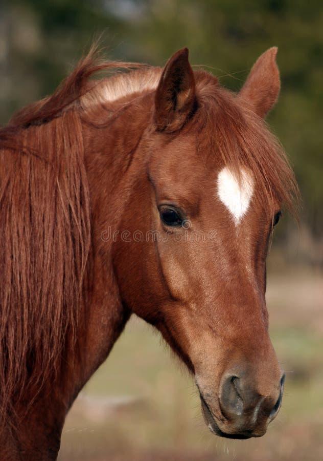 Download Arabian gelding stock photo. Image of farm, chestnut, star - 4630832
