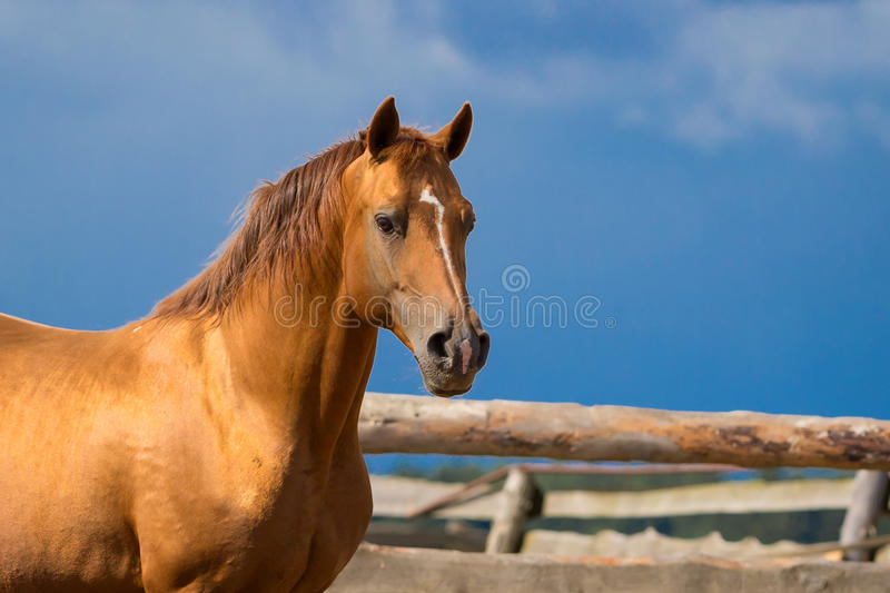 Download Arabian Gold Horse Stock Image - Image: 25925061