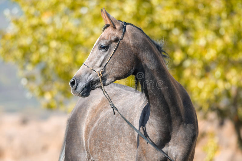 Arabian grey horse portrait in summer. Grey Arabian horse mare portrait in summer time stock photo