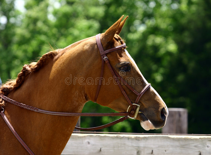 Arabian Head with Bridle royalty free stock image