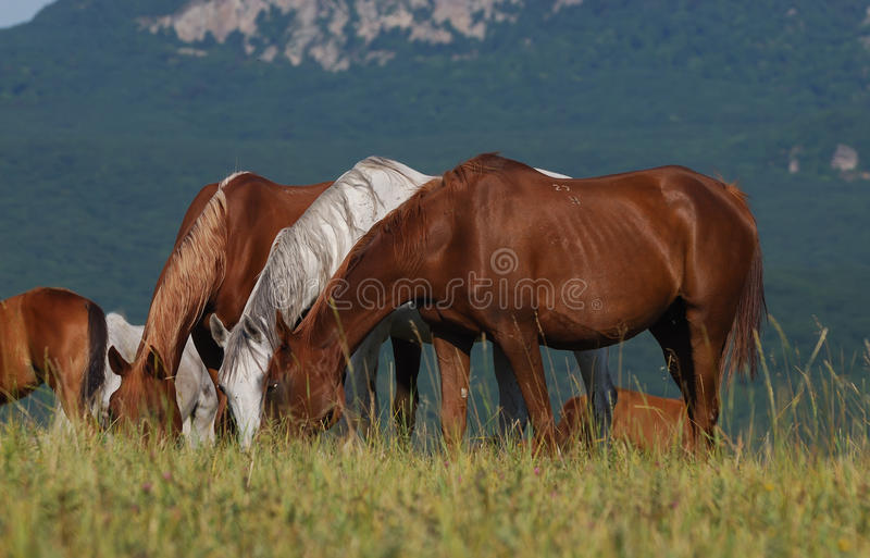 Download Arabian herd on pasture stock photo. Image of color, country - 10664272