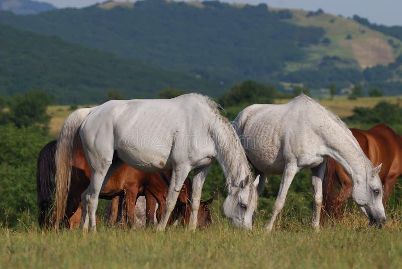 Download Arabian herd on pasture stock image. Image of equestrian - 10664305